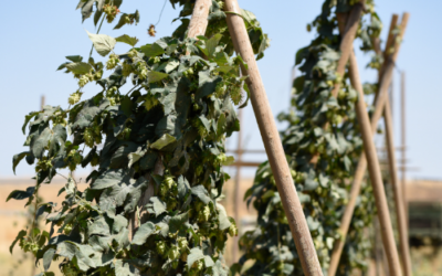 The Beginner's Guide to Growing Hops
