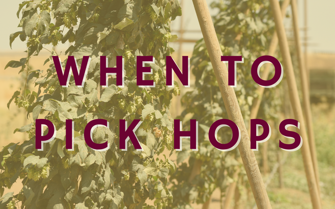 When to Pick Hops